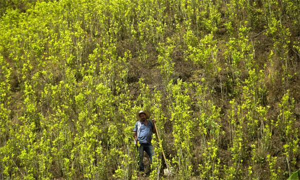 cultivo coca