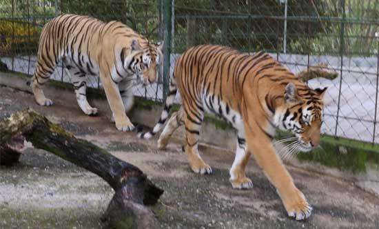 Tigres rayados