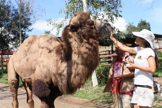 camellos en joya grande