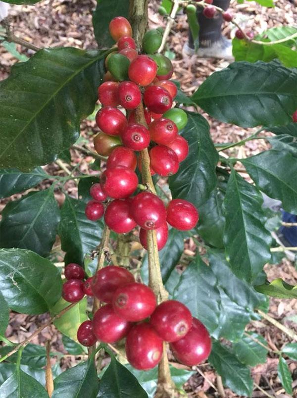 cafecito hn1