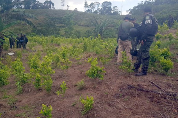 plantacion coca